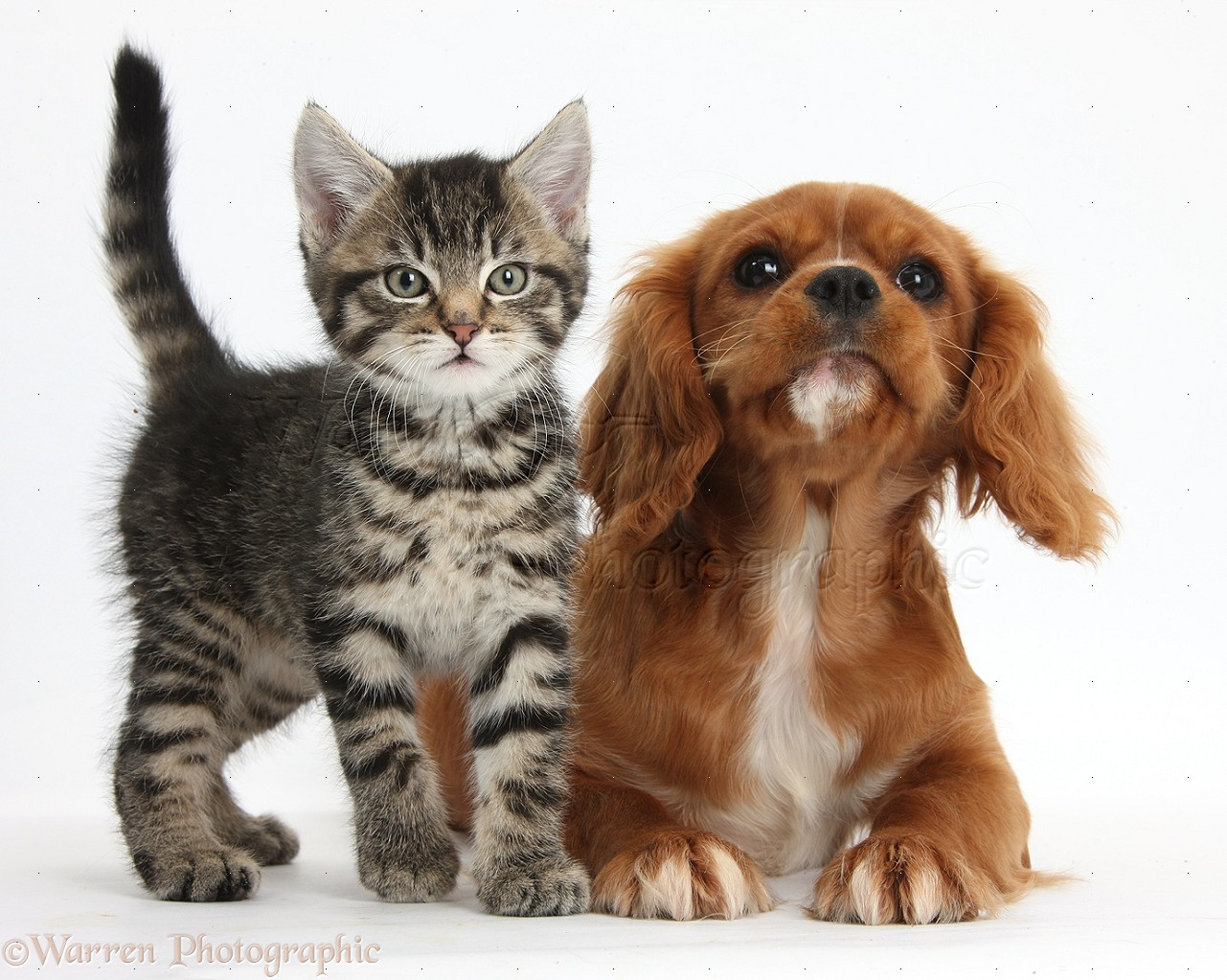 Most Inspiring Charles Spaniel Brown Adorable Dog - 37067-Cute-tabby-kitten-and-Ruby-Cavalier-Spaniel-white-background  Collection_11438  .jpg