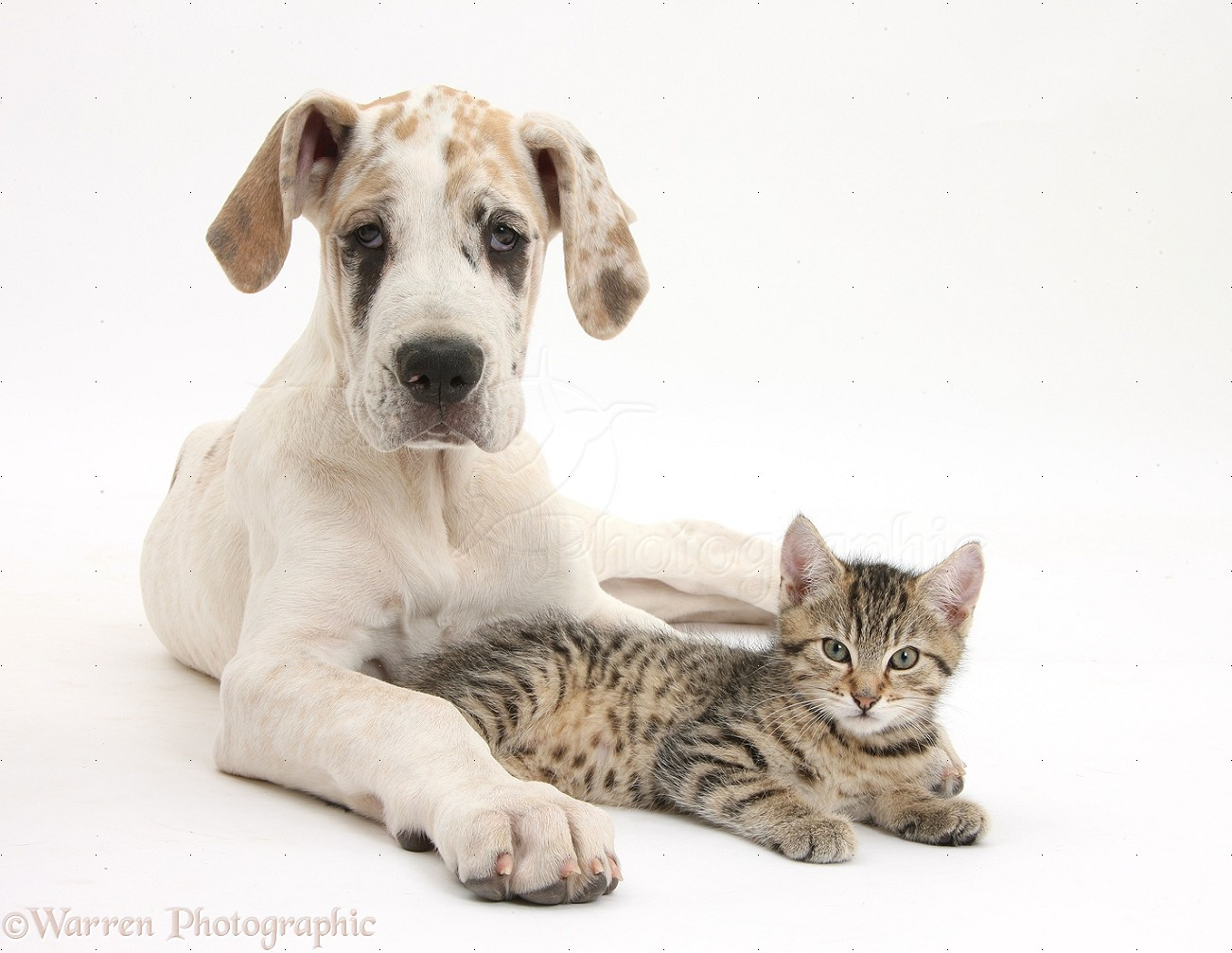 Wp37127 cute tabby kitten stanley 10 weeks old with great dane pup