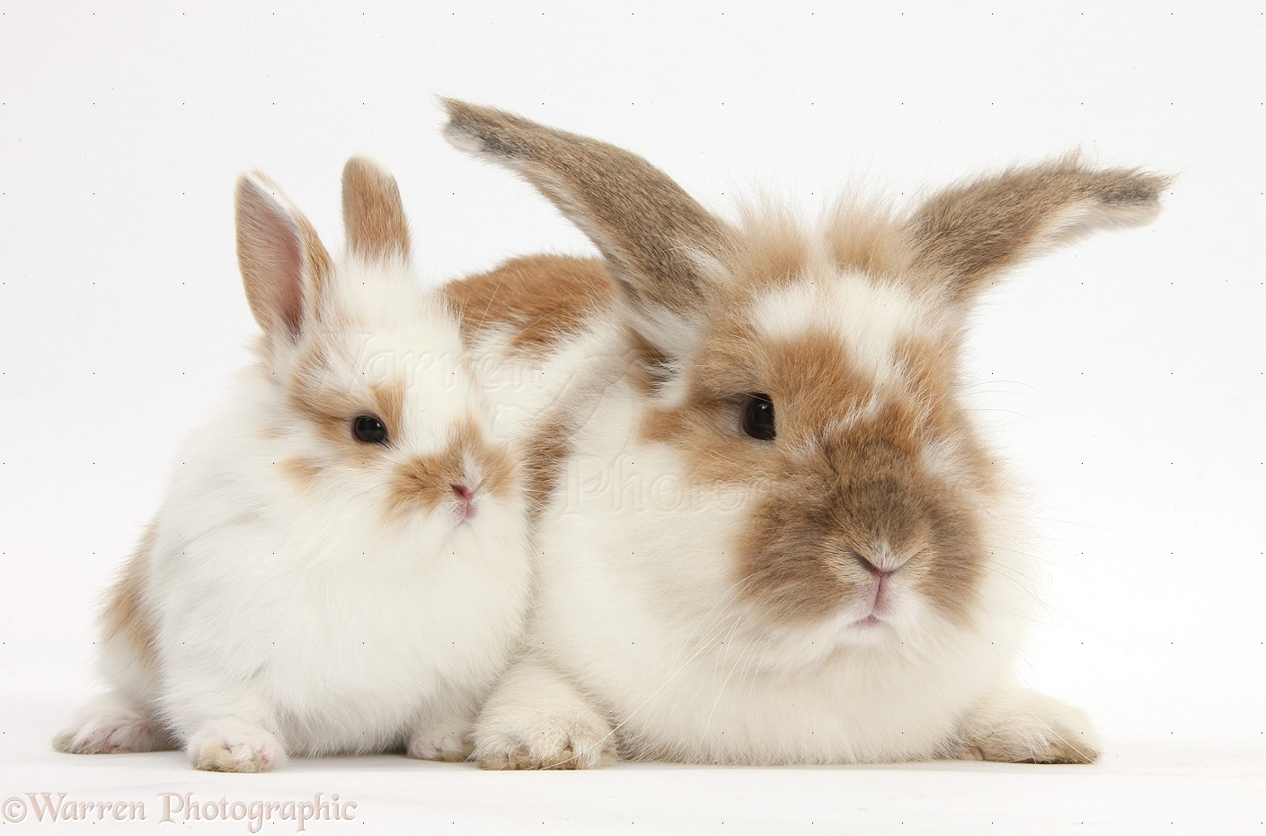 Brown and white lionhead rabbit - photo#7