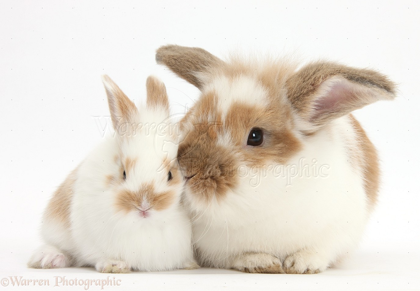 brown and white rabbit and baby bunny photo wp37144