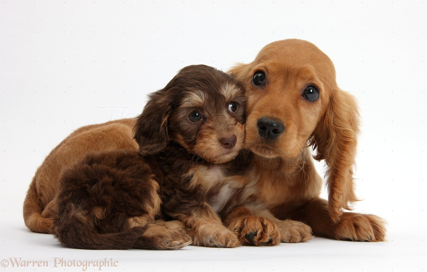 Dogs Cute Daxiedoodle And Golden Cocker Spaniel Puppies Photo Wp37258