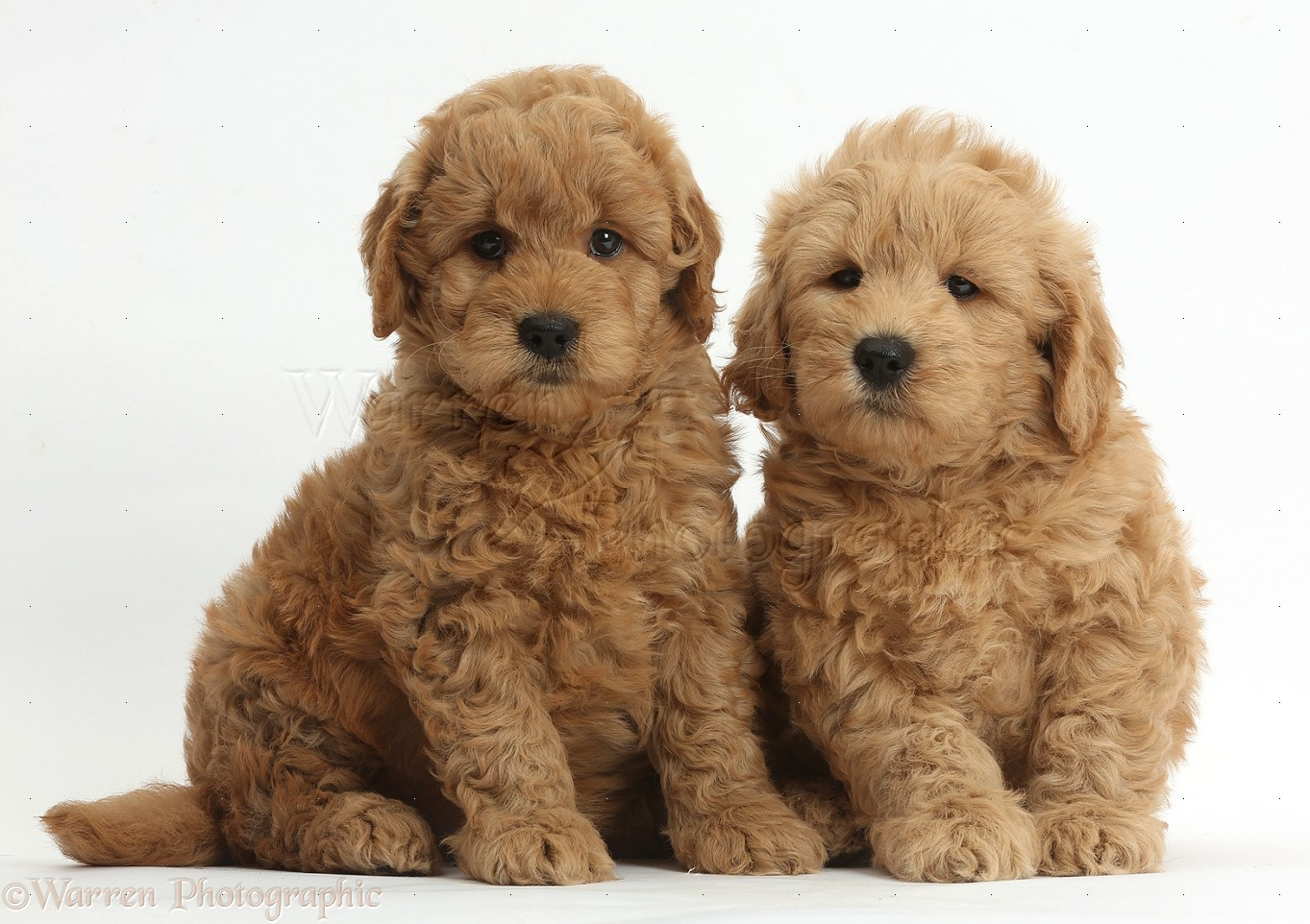 Dogs Cute F1b Goldendoodle Puppies Photo Wp37273