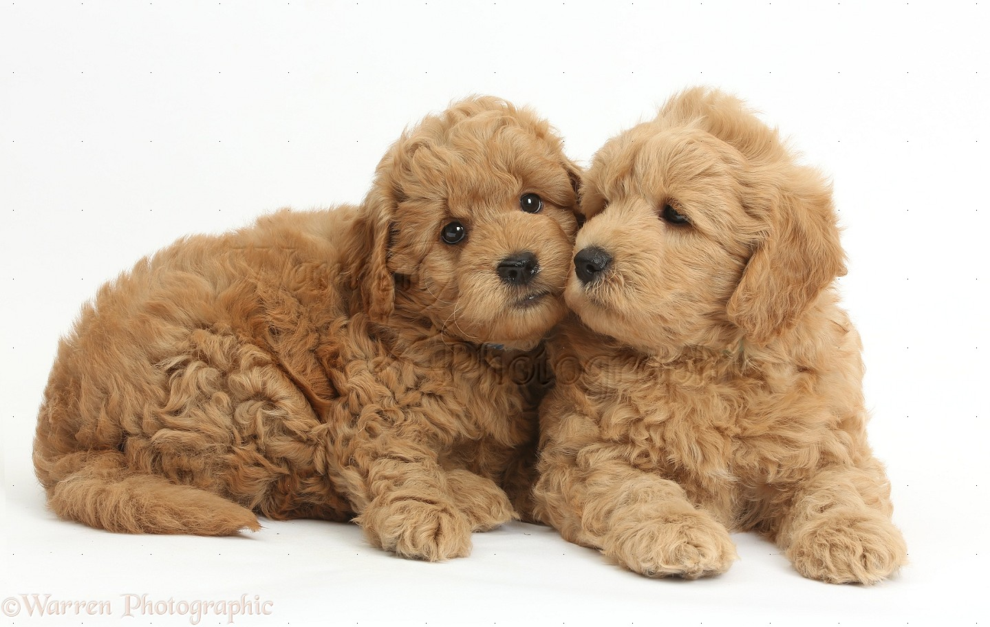 brown teddy bear puppies - 1439×751