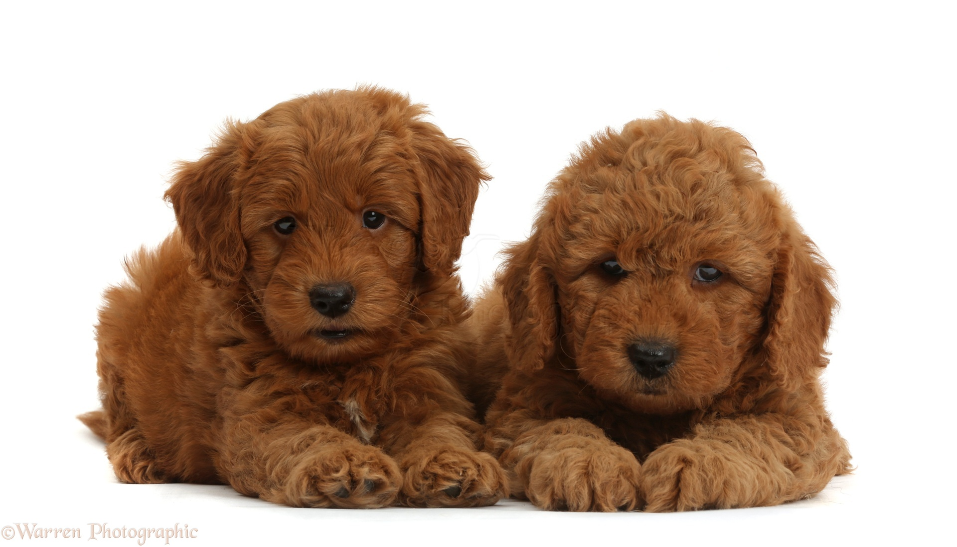 Dogs Cute F1b Goldendoodle Puppies Photo Wp37277