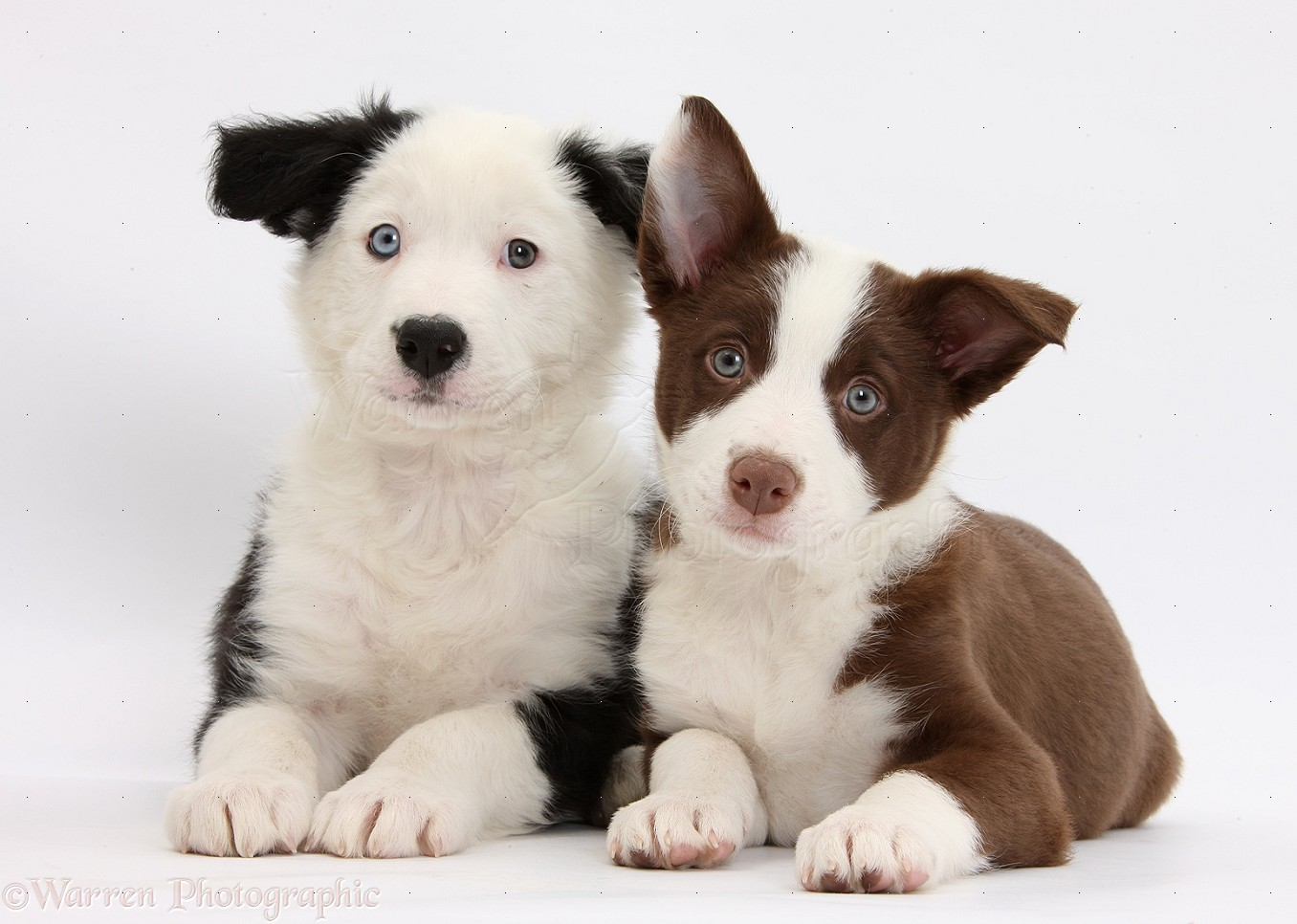 Dogs Chocolate And Black And White Border Collie Puppies Photo Wp37308
