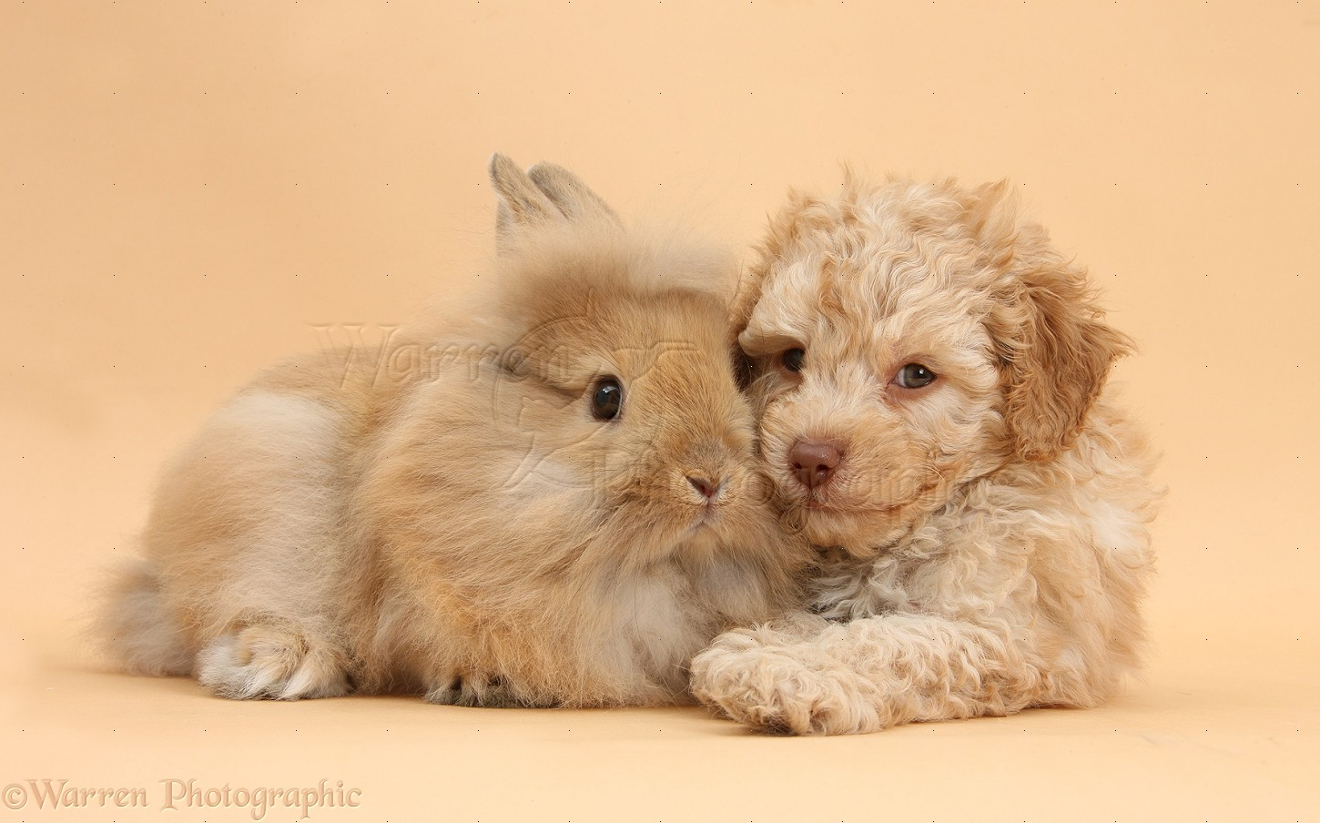 Pets Toy Labradoodle Puppy And Fluffy Bunny Photo Wp37339
