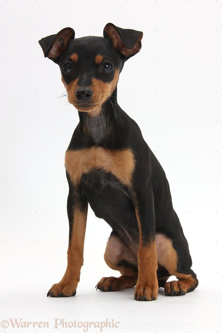 Pinscher Puppies Dog: miniature pinscher puppy photo - wp37372