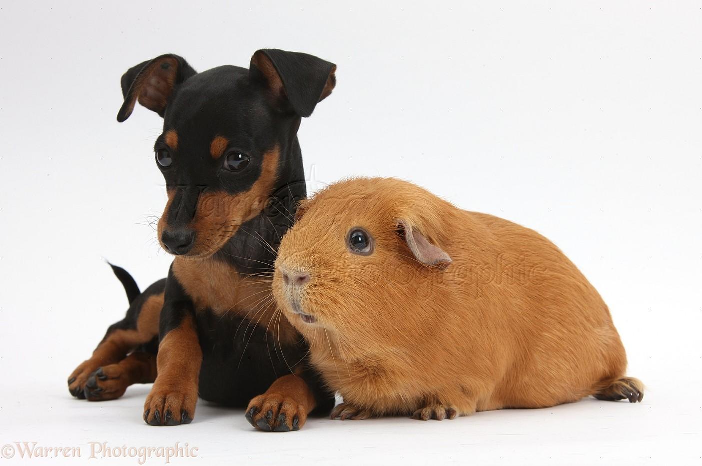 Pets Miniature Pinscher Puppy And Guinea Pig Photo Wp37373