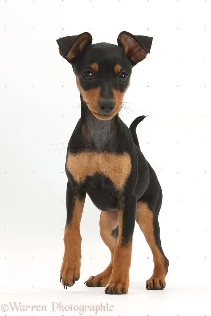 Dog Miniature Pinscher Puppy Photo Wp37375