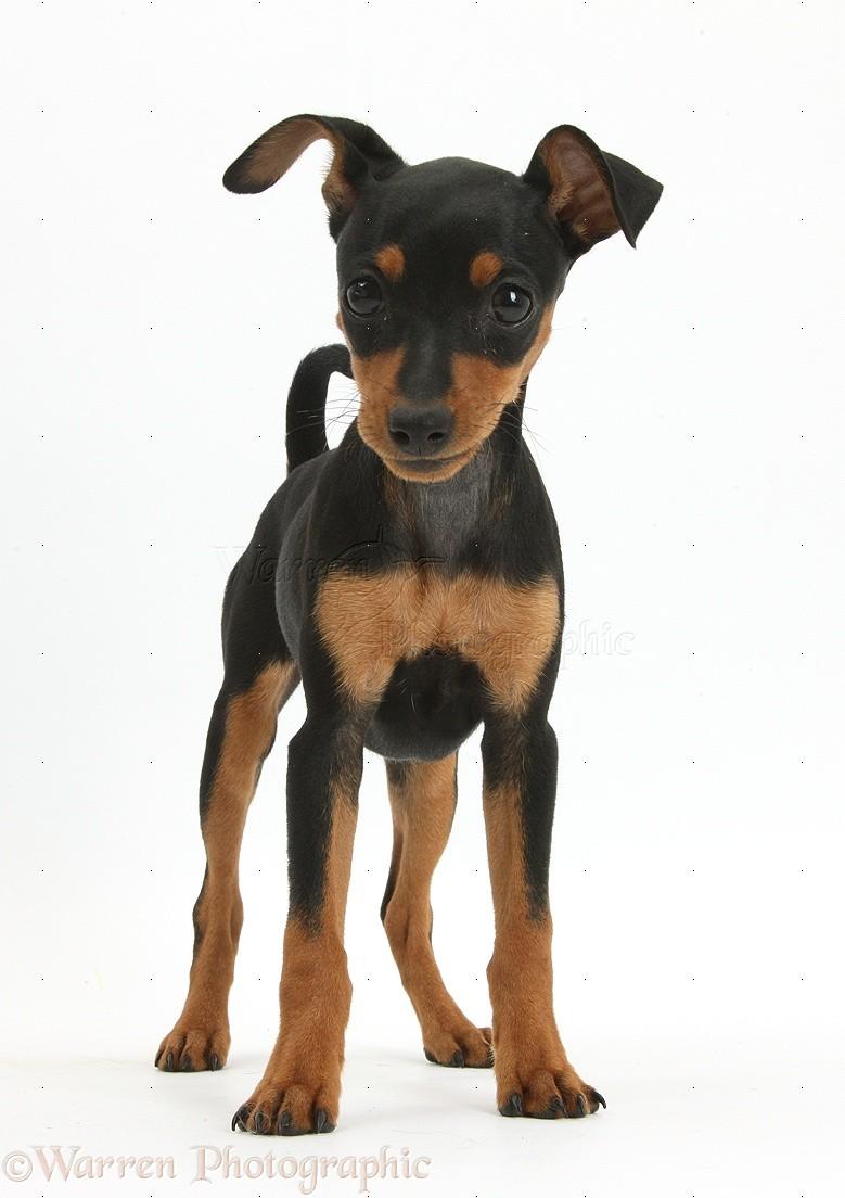 pin miniature pinscher pup - photo #38