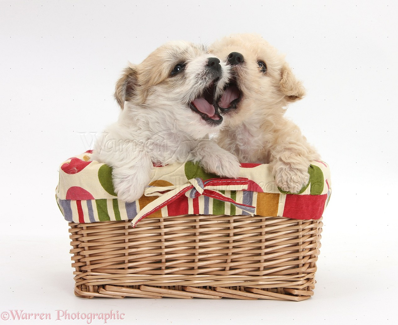 Dogs Cute Bichon X Yorkie Puppies In A Basket Photo Wp37384