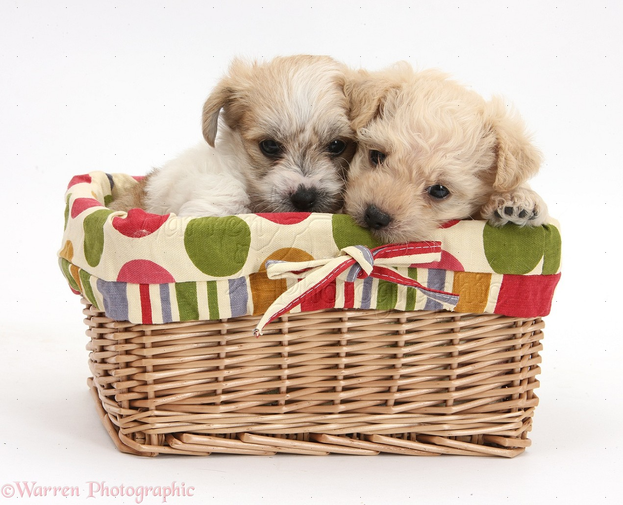WP37385 Bichon Frisé x Yorkshire Terrier pups, 6 weeks old, in a ...