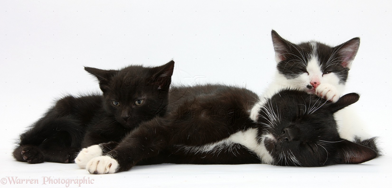 Black and white mother cat and kitten photo WP