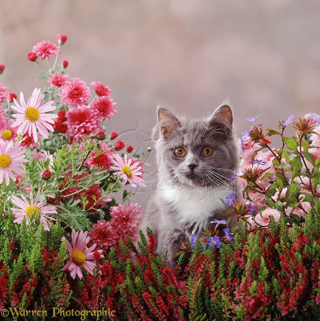 Grey And White Kitten Among Pretty Flowers Photo Wp37519
