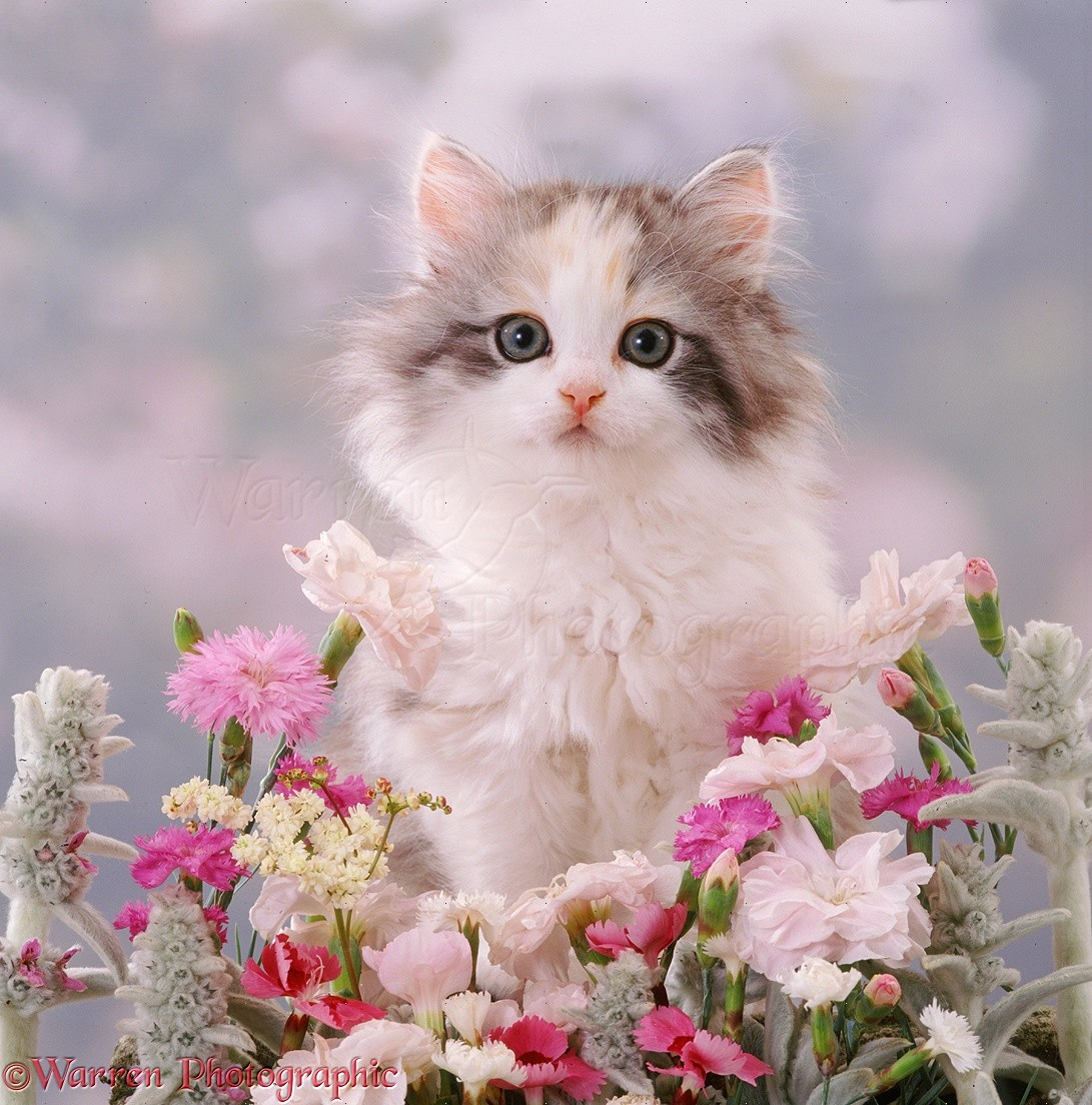 Fluffy kitten 8 weeks old among pink flowers photo wp37520 fluffy kitten 8 weeks old among pink flowers mightylinksfo Choice Image