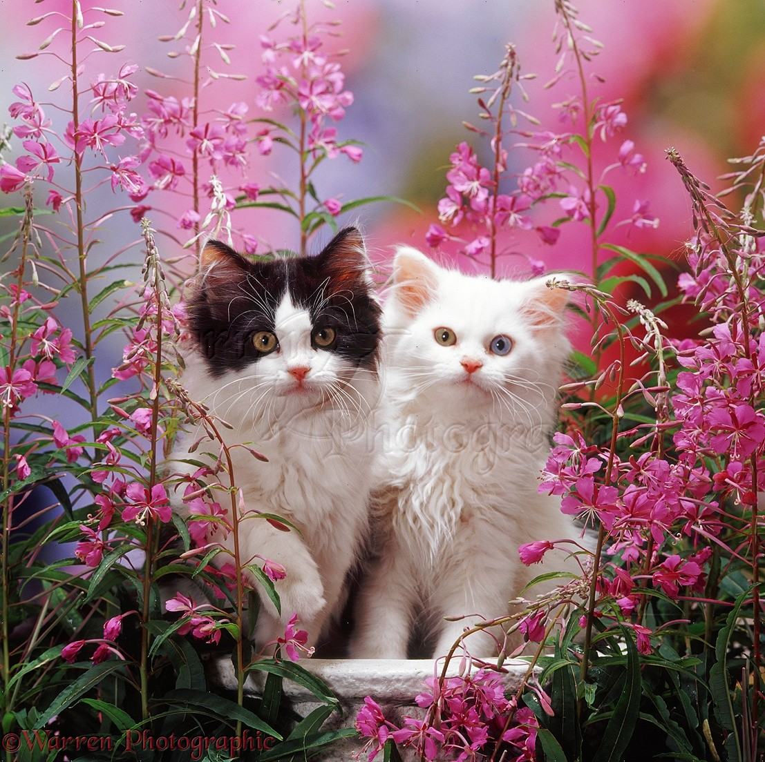 White And Black And White Kittens Among Pink Flowers Photo Wp37583