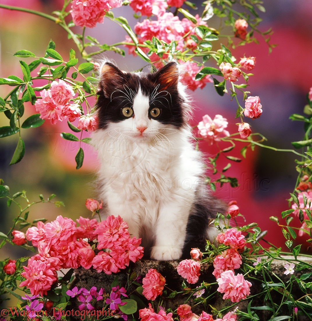 A Black Cat Among Roses