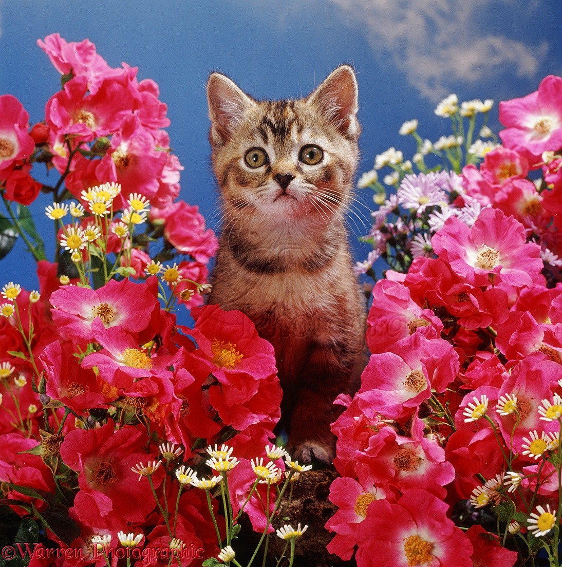 Kitten among pink rose flowers photo wp37626 tabby burmilla kitten among american pillar roses with feverfew mightylinksfo