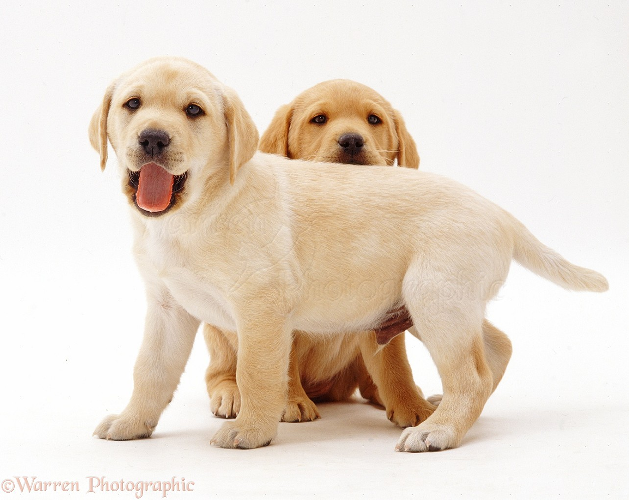 Dogs Two Yellow Labrador Retriever Pups 6 Weeks Old Photo Wp37661