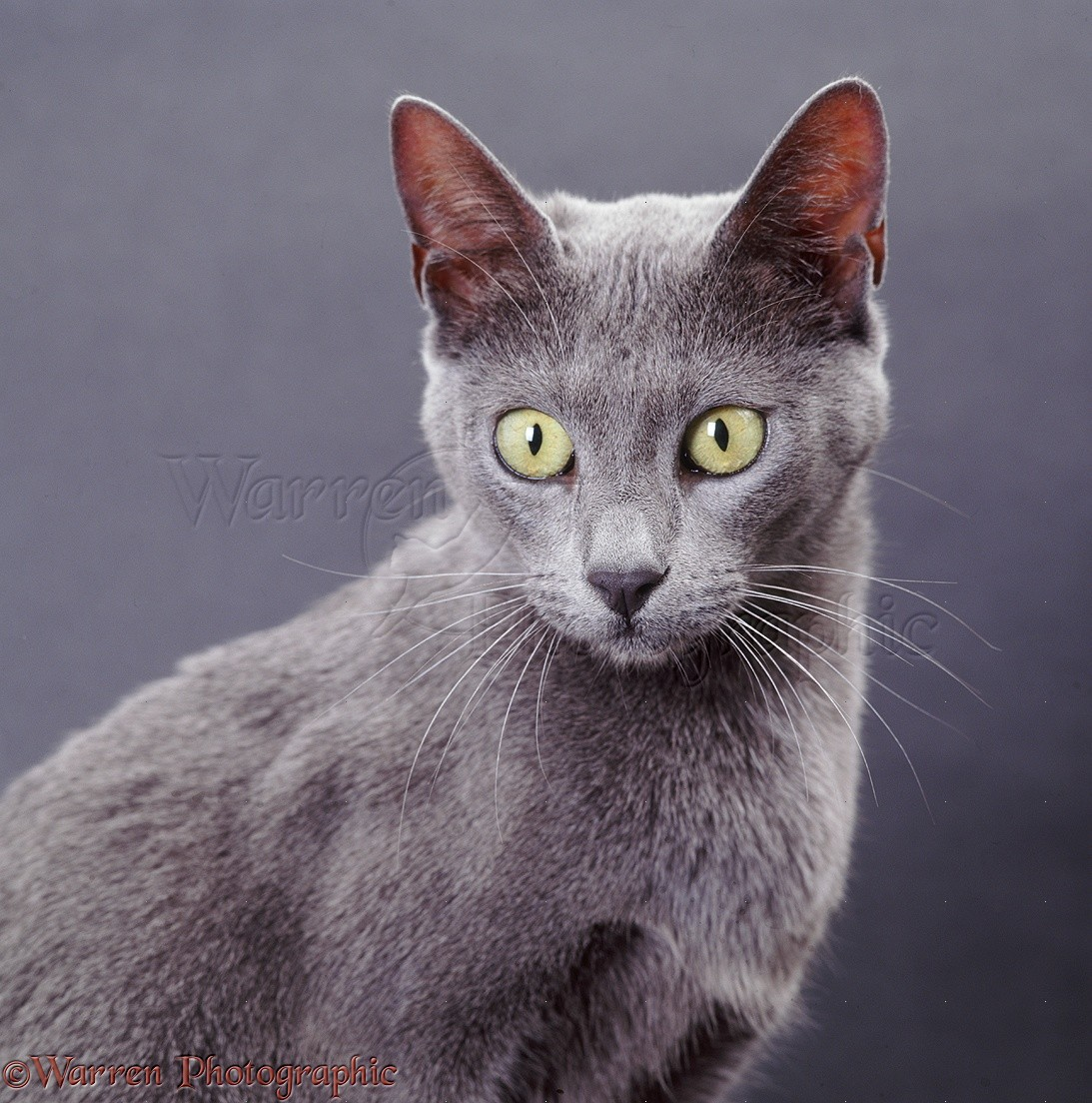 Grey And Blue Cat