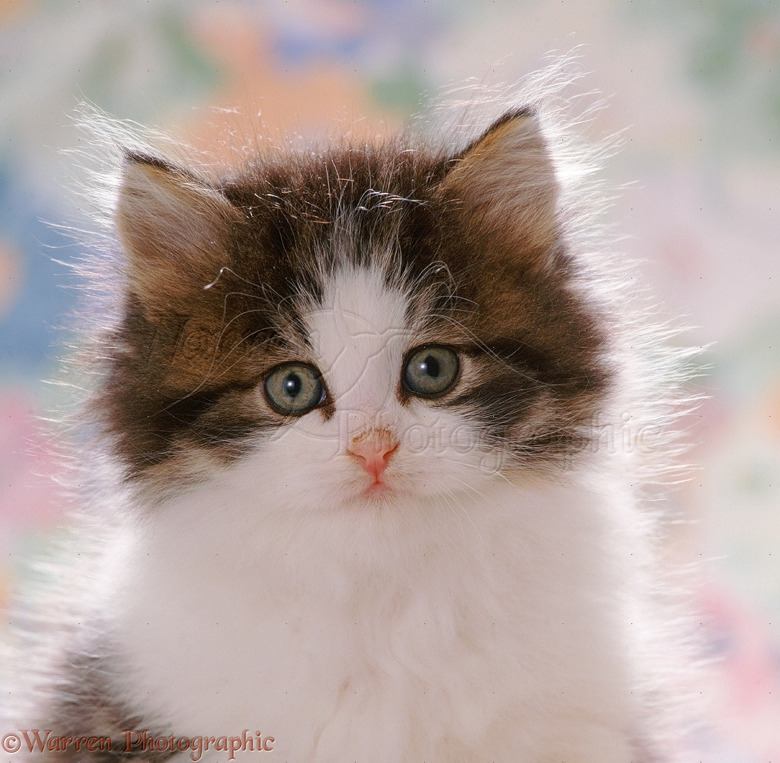 fluffy tabbyandwhite kitten photo wp37688