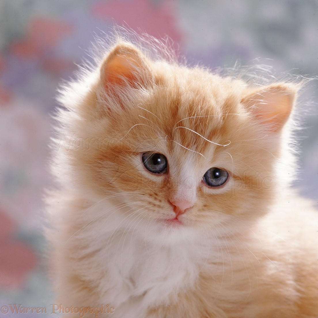 Cute Ginger Male Kitten 7 Weeks Old Photo Wp37689