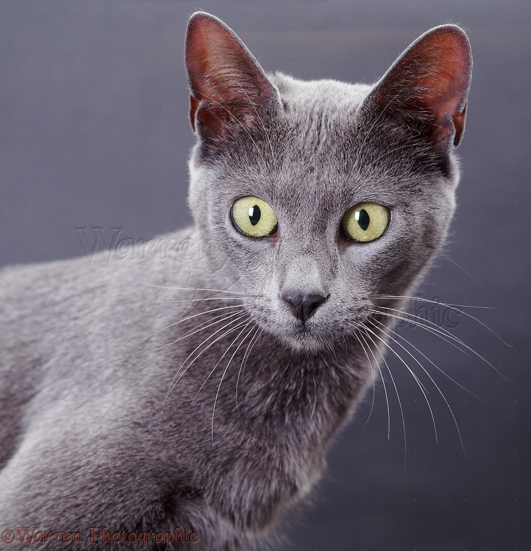 Blue Bengal x Burmese cat on grey background photo WP