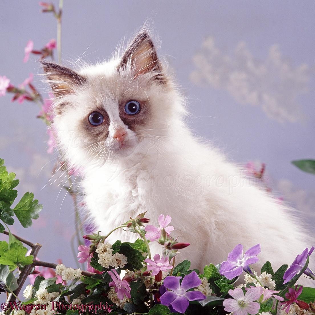 Ragdoll Kitten Among Spring Flowers Photo Wp37752