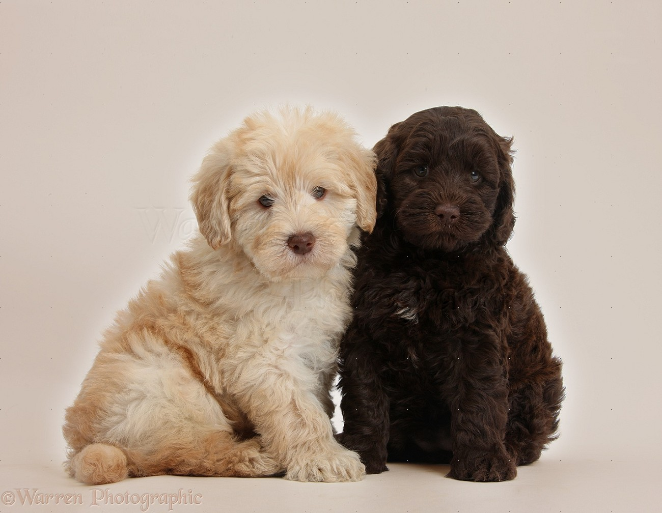 Dogs: Cute Toy Goldendoodle puppies on beige background ...