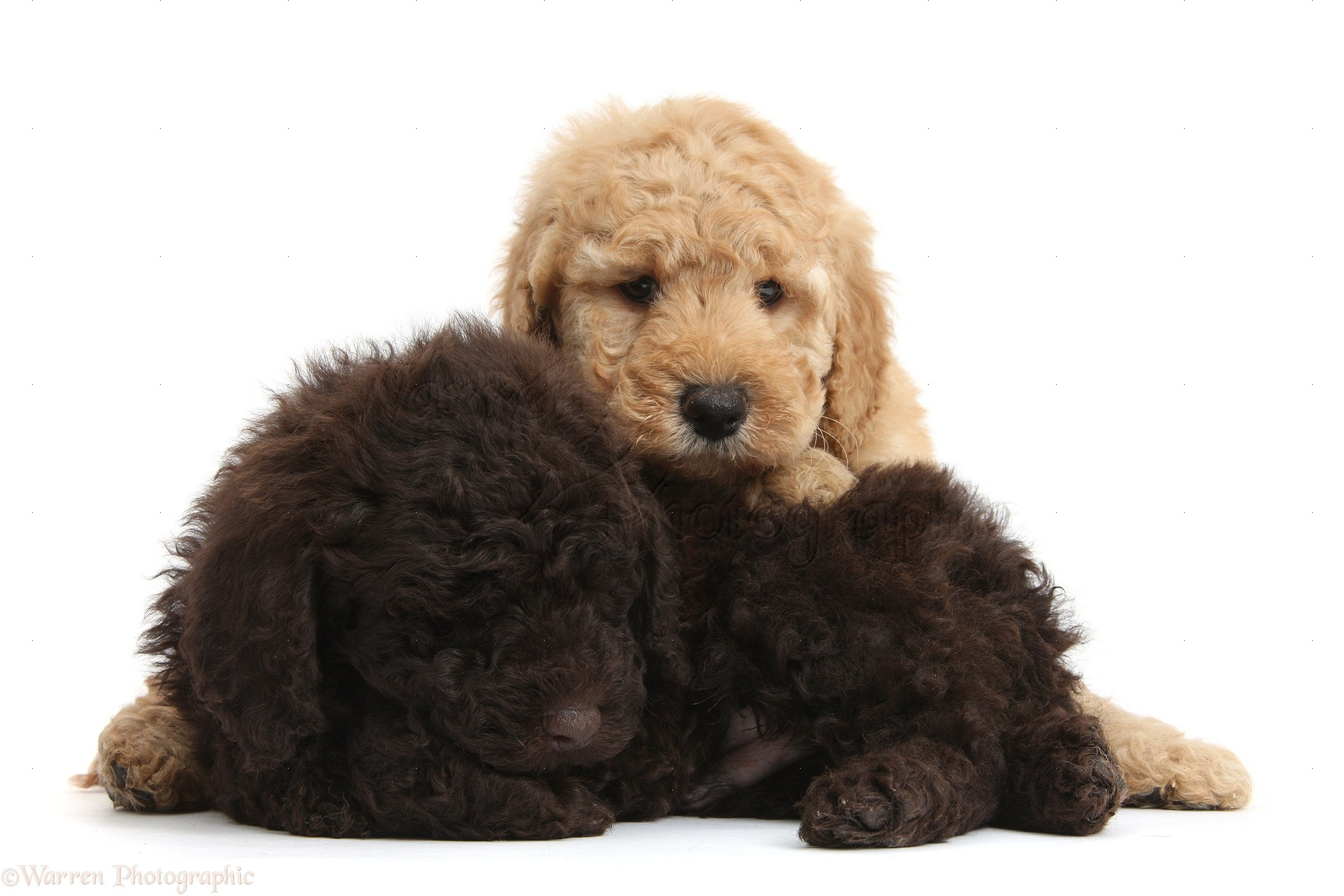 Dogs Cute Sleepy Toy Goldendoodle Puppies Photo Wp37784