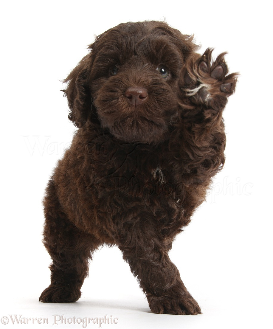 Chocolate Goldendoodle Puppies Goldendoodle puppy waving: galleryhip.com/chocolate-goldendoodle-puppies.html