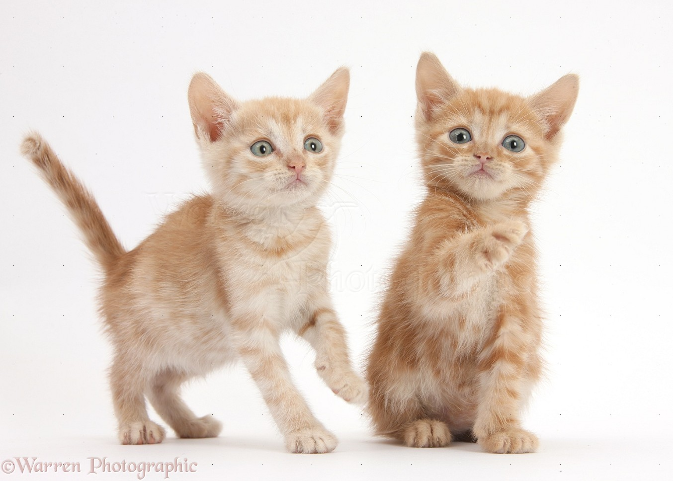 Two Ginger kittens 5 weeks old photo WP