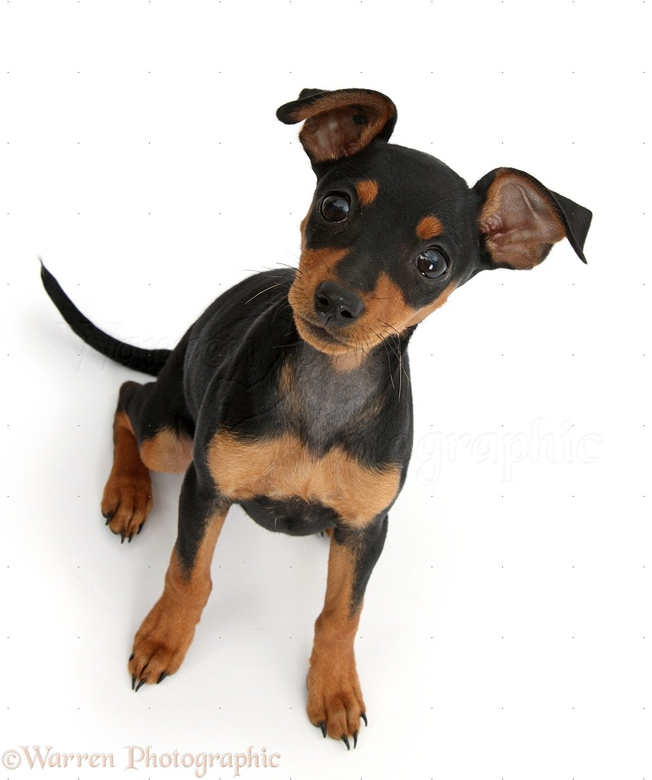 Dog Miniature Pinscher Puppy Photo Wp37870