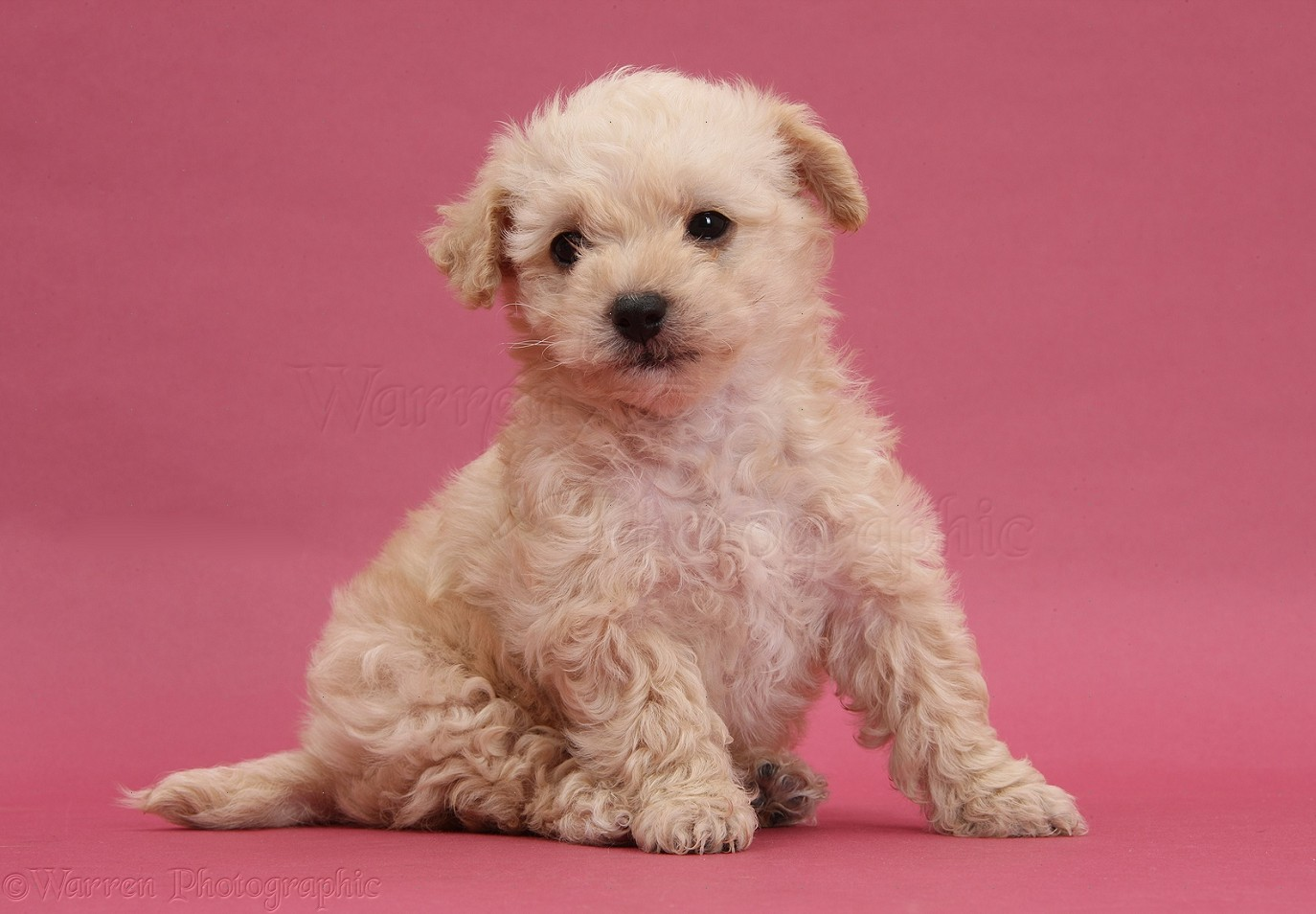 WP37871 Bichon Frisé x Yorkshire Terrier pup, 6 weeks old, sitting on ...