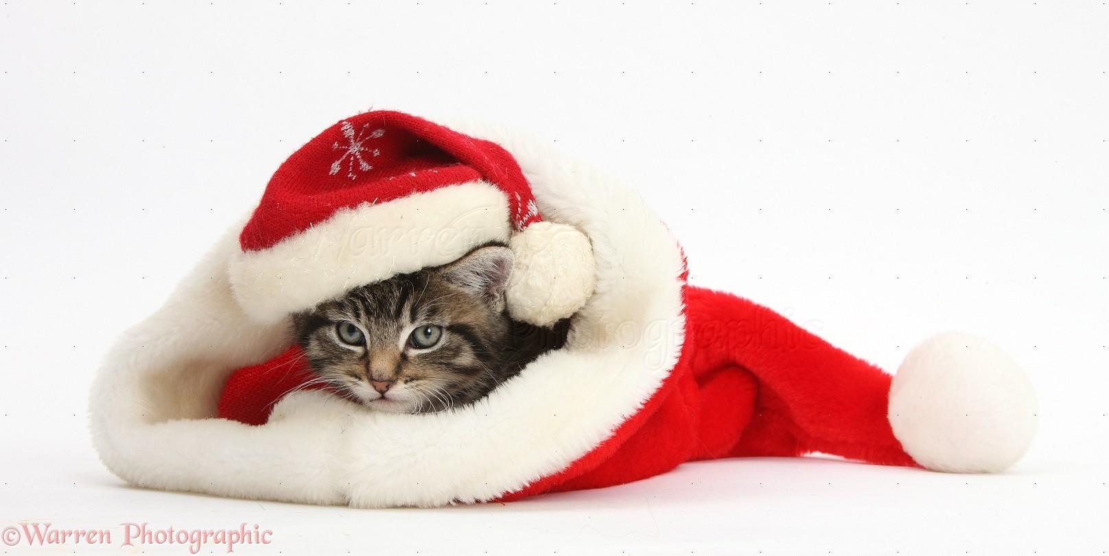 Cute tabby kitten wearing a Santa hat photo WP37914