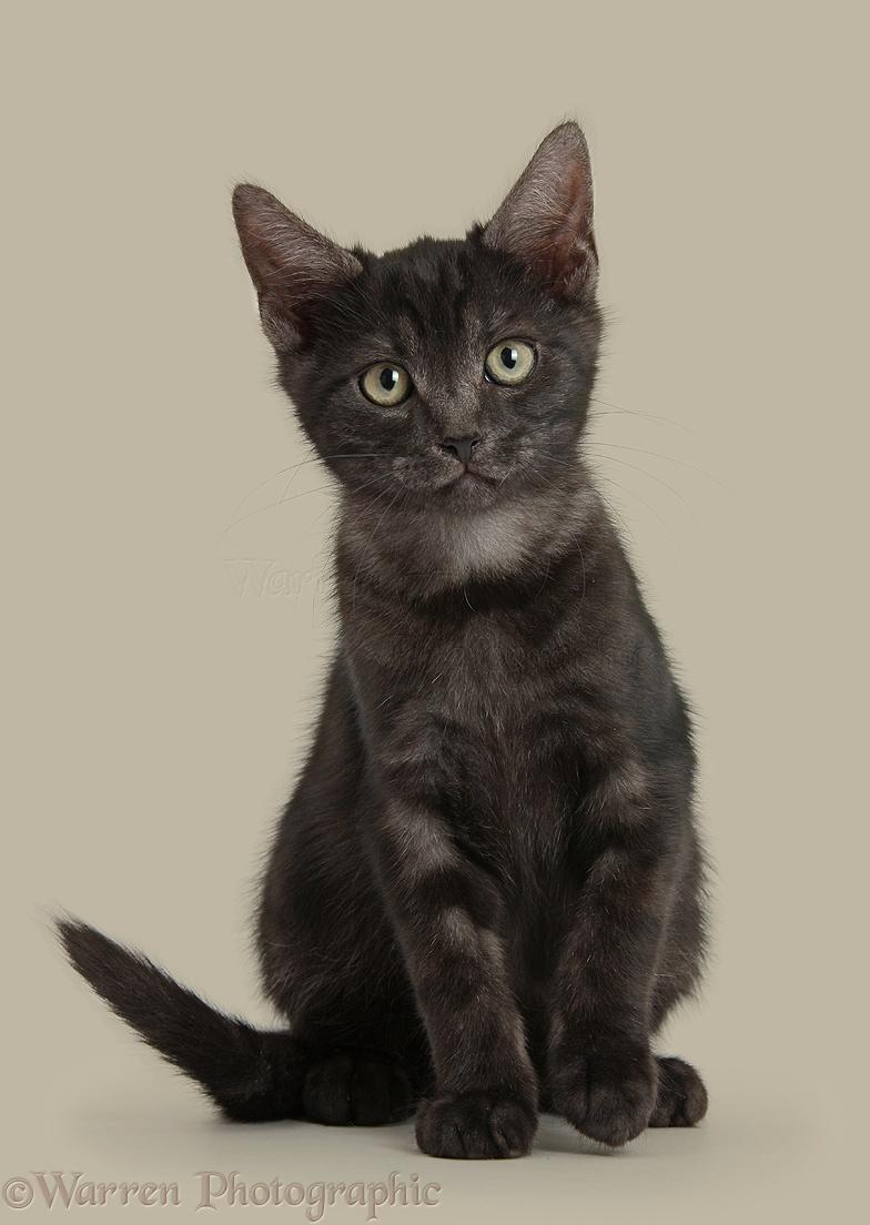 Ficha de Conjuro de Sombras  37949-Smoke-black-kitten-sitting-white-background