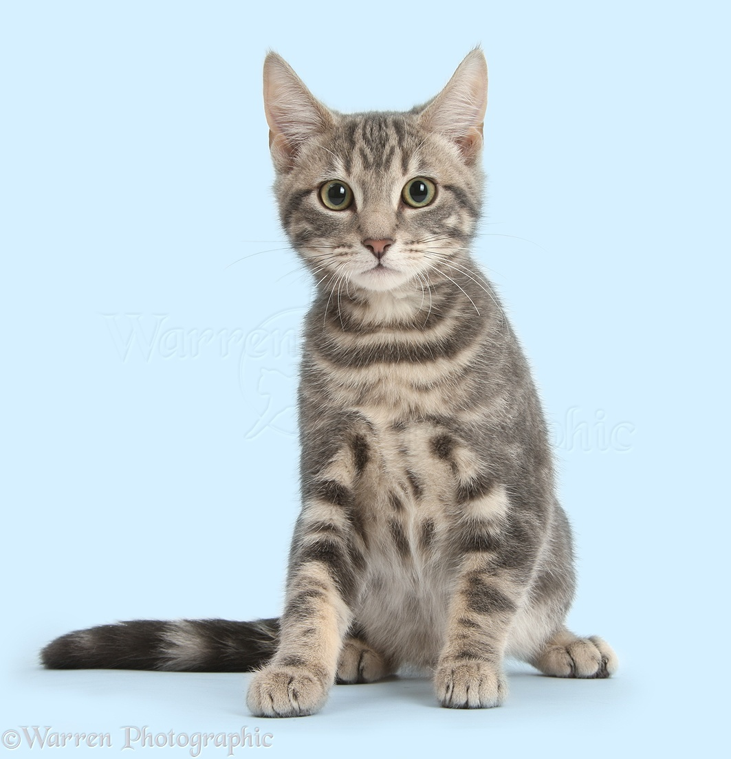 Tabby Cat Sitting Photo Wp37952