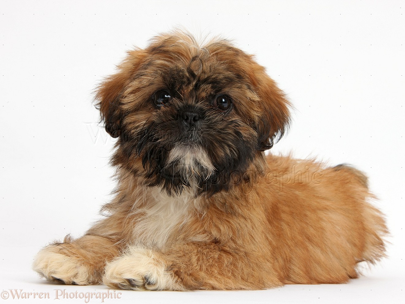 Dog Brown Shih Tzu Pup Lying With Head Up Photo Wp37964