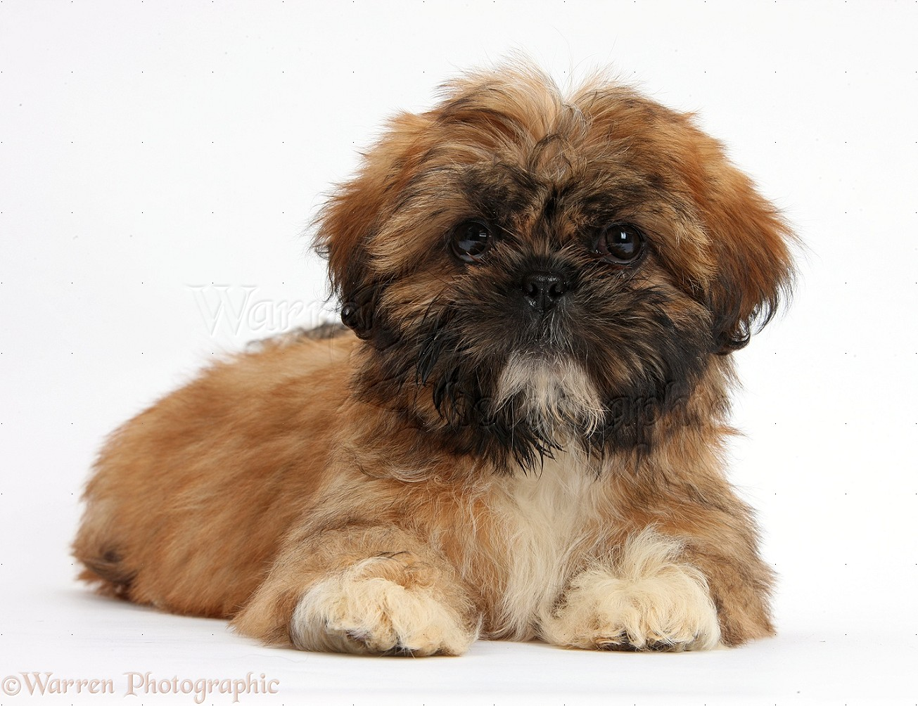 Dog Brown Shih Tzu Pup Lying With Head Up Photo Wp37965
