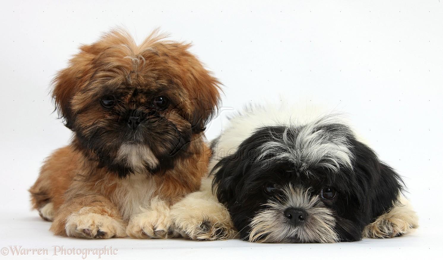 Black and White Shih Tzu Puppies Brown