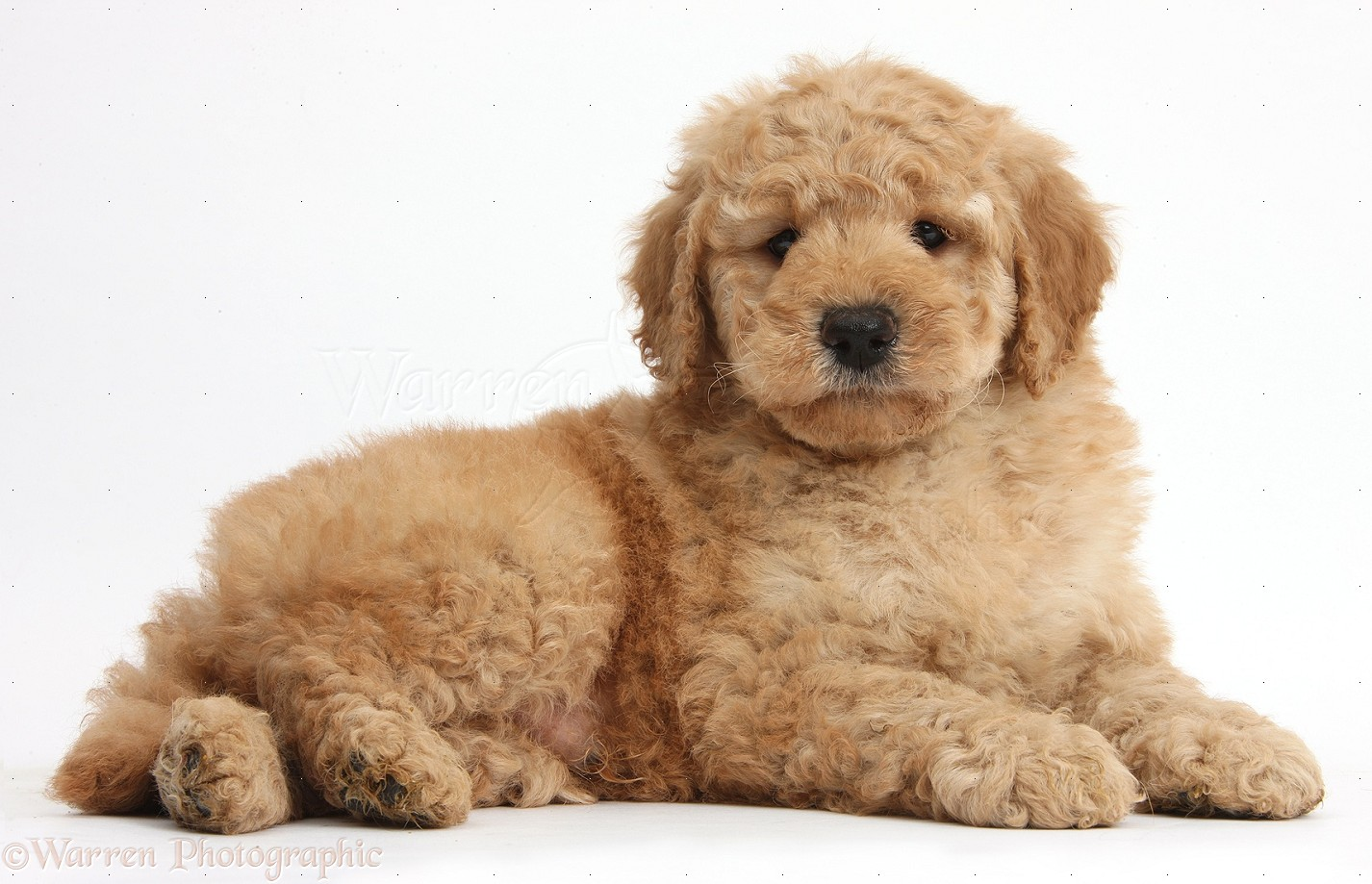 Dog Cute Toy Goldendoodle Puppy Photo Wp37993