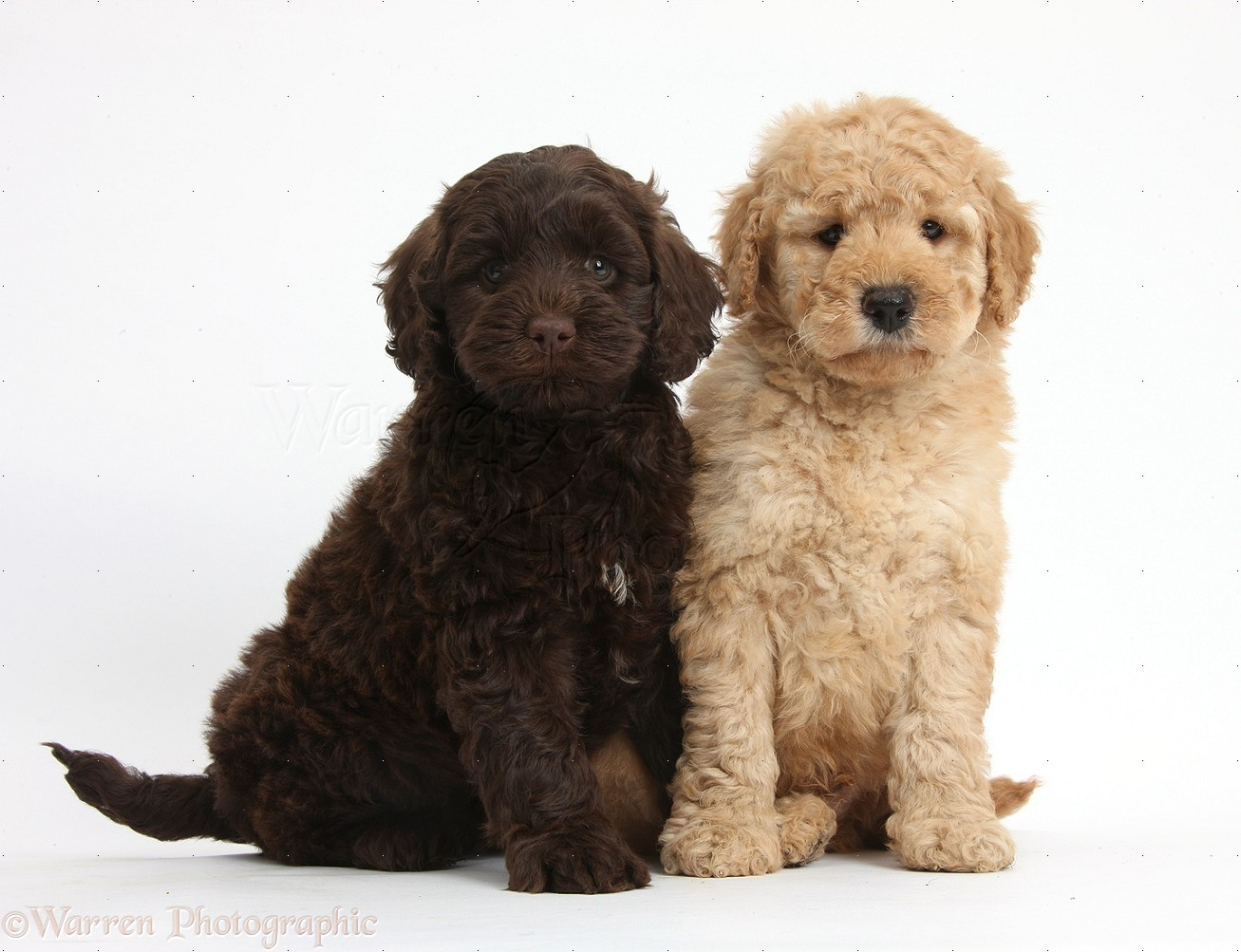 Dogs Cute Toy Goldendoodle Puppies Photo Wp37994