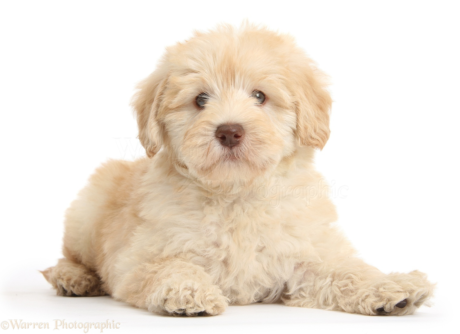 Dog Cute Toy Goldendoodle Puppy Photo Wp37997