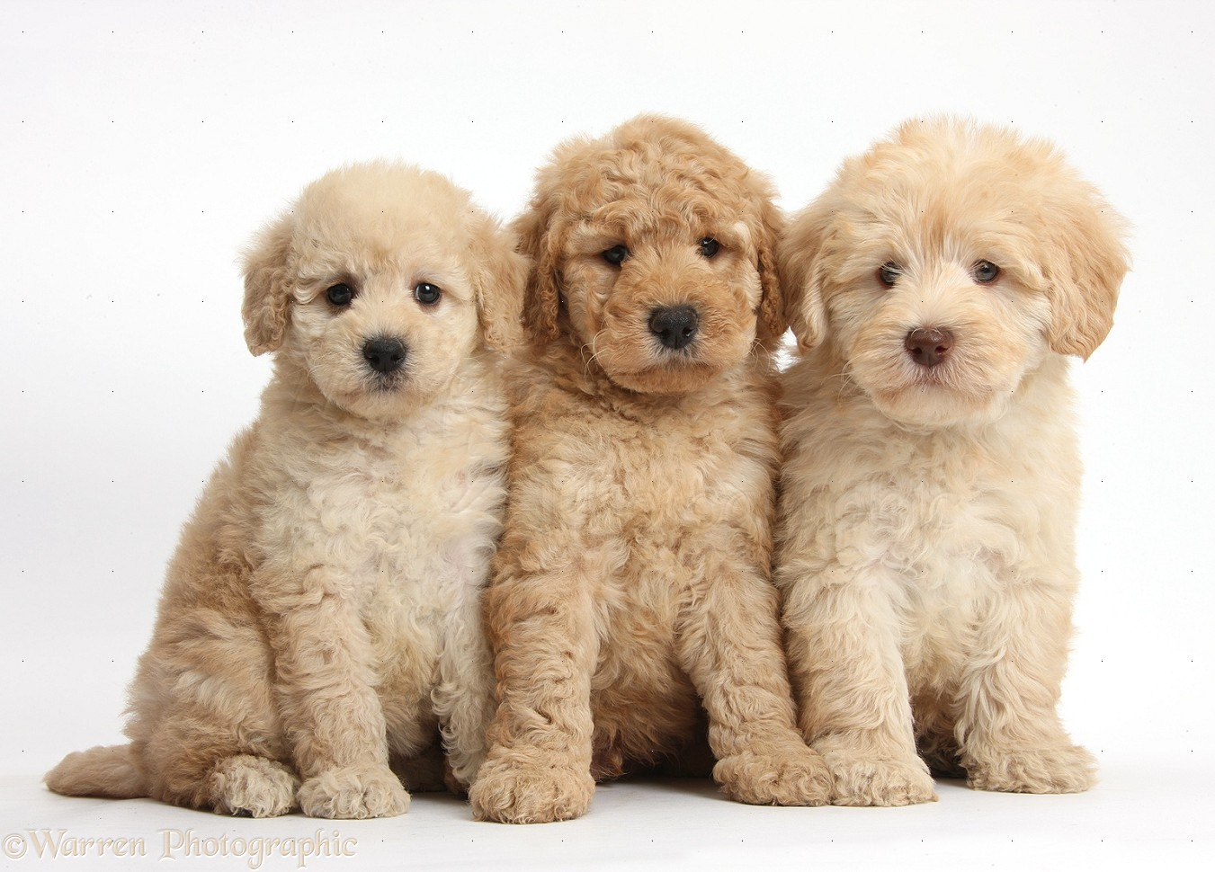 Dogs Three Cute Toy Goldendoodle Puppies Photo Wp37999