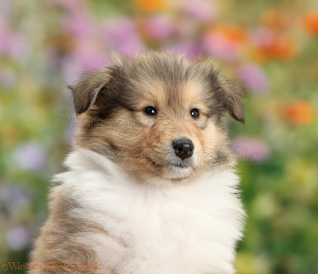 Rough Collie Facts Pictures Puppies Rescue Temperament Breeders