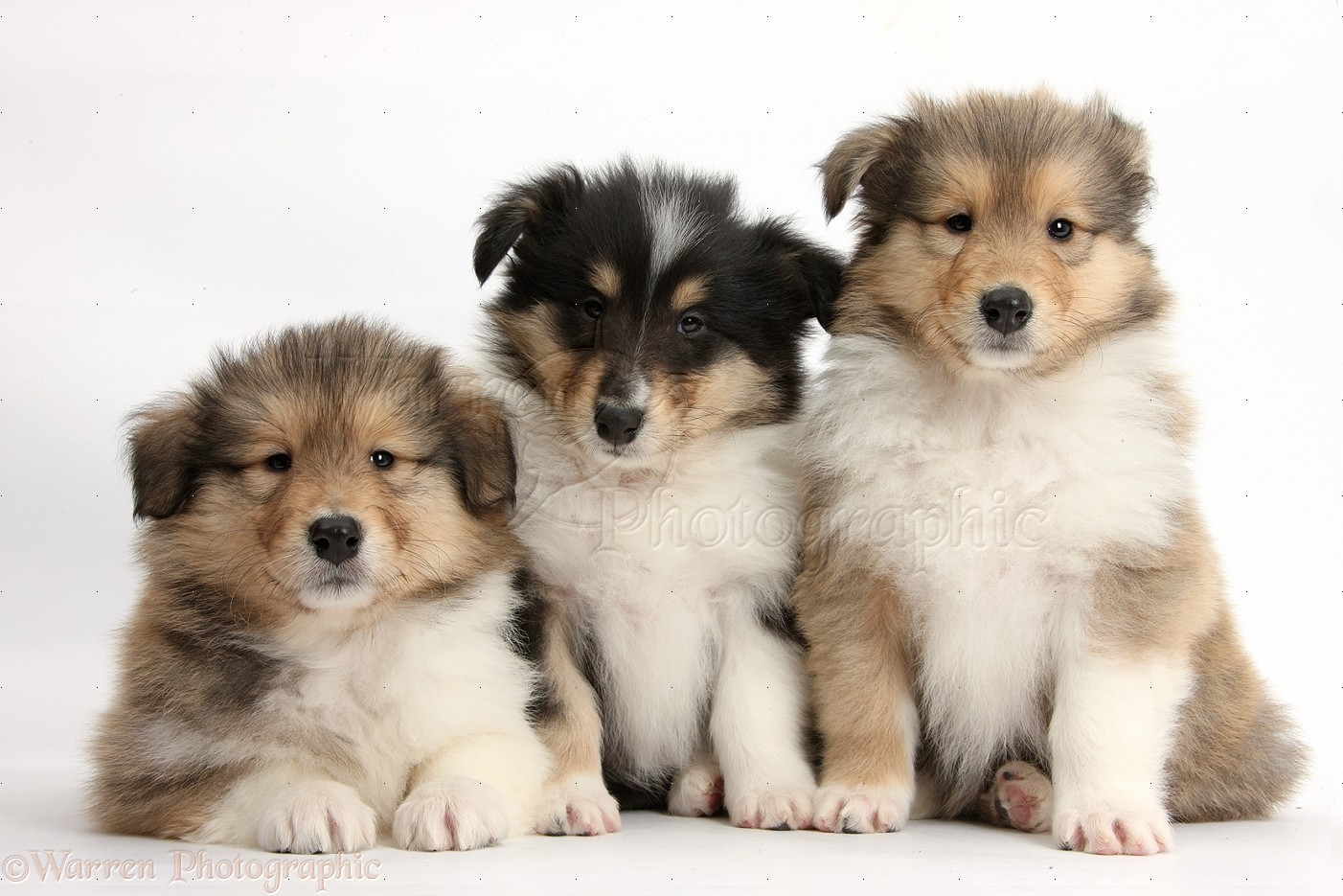 Fluffy Rough Collie pups Rough collie, Collie puppies