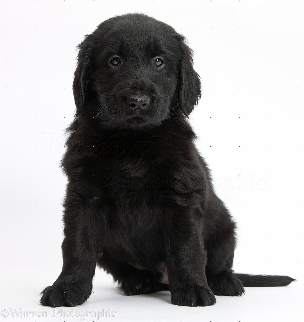 Dog: Flatcoated Retriever puppy photo - WP38093