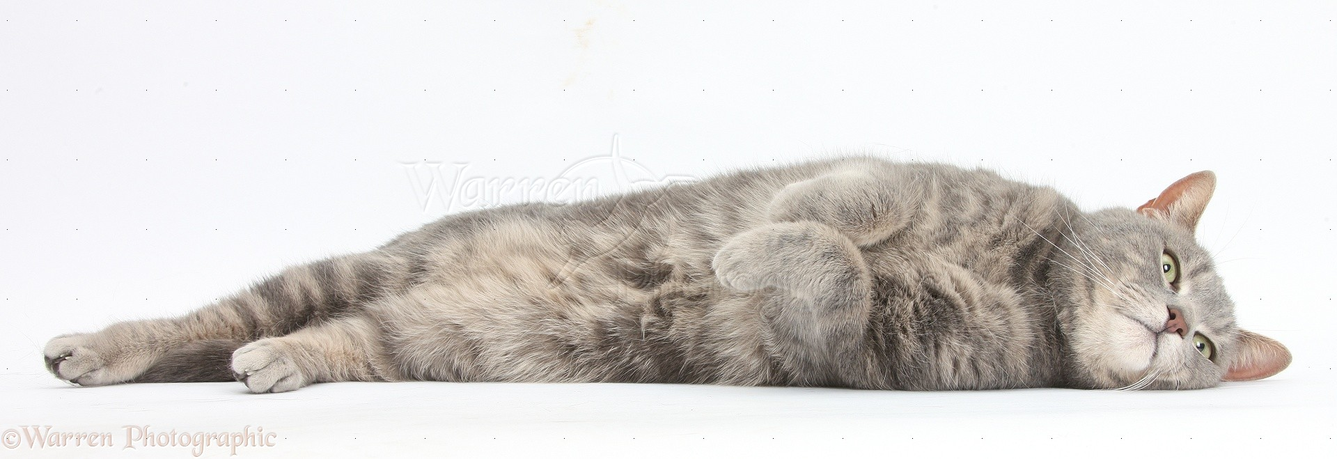 WP38103 Blue-grey tabby male cat, Pippin , 4 years old, lying ...