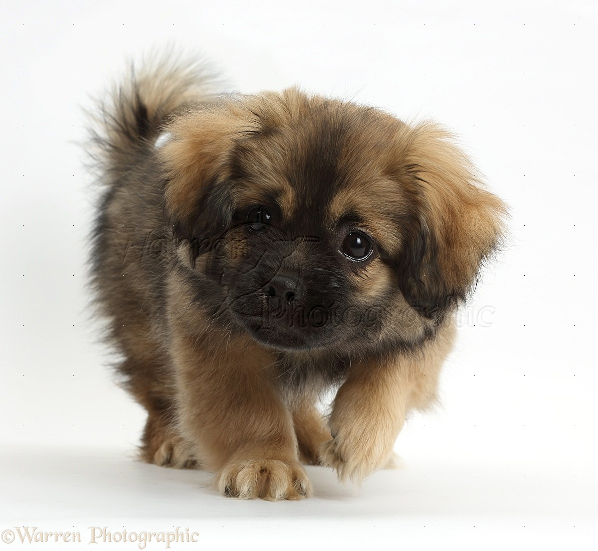 Tibetan Spaniel Dog Puppy Photo Wp38113