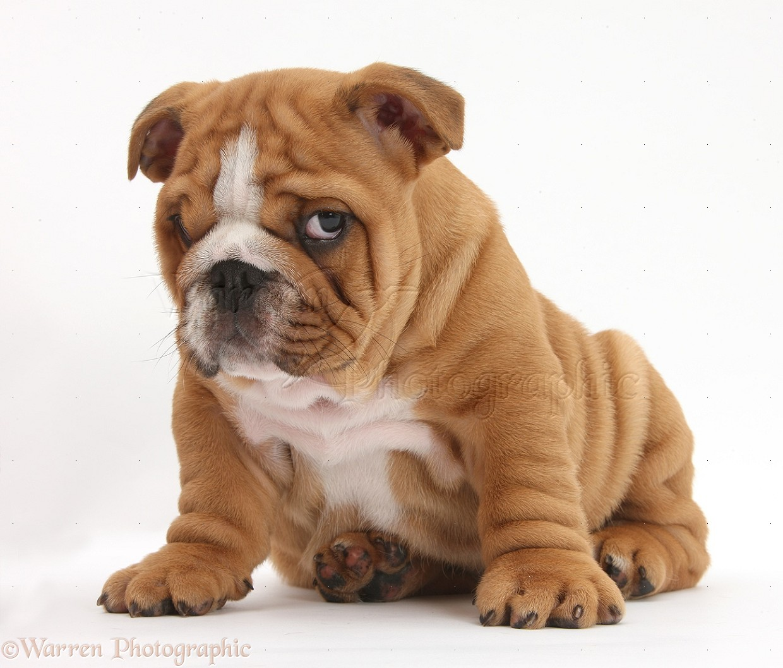 Bulldog pup, 8 weeks old, sitting photo - WP38139